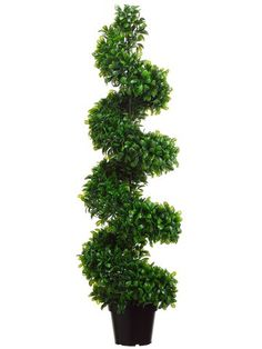 4' Jade Plant Spiral Topiary in Black Plastic Pot Green (Pack of 2) ** You can get more details by clicking on the image.
