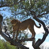 52_emma kingston_climbing cheetah.jpg