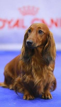 Brown long haired dachshund #Dachshund