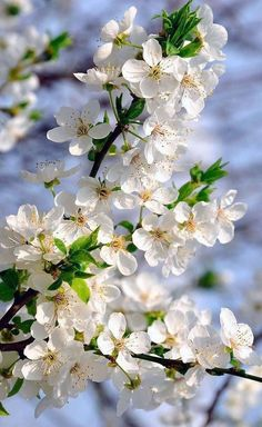 Éphéméride Seasonal Calender ♦๏~✿✿✿~☼๏♥๏花✨✿写☆☀🌸🌿🎄🎄🎄❁~⊱✿ღ~❥༺♡༻🌺<SA Mar ♥⛩⚘☮️ ❋ Exotic Flowers, Amazing Flowers, White Flowers, Beautiful Flowers, Frühling Wallpaper, Flower Wallpaper, Flower Aesthetic, Spring Blossom, Flowering Trees