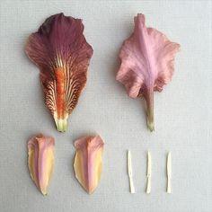 I R I S . 'Gypsy Tart' deconstructed #irisgermanica #irisgypsytart #miniatureiris #flora #flagiris #iris #scent #perfume #botanicaldeconstruction #deconstruction #deconstructed