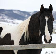 Pinto Horse. Beautiful