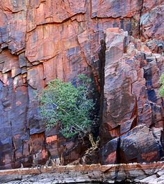 My photo of lone Kurrajong tree growing from a crack in the great slabs of the cliffs on the dark side of Python Pool, Millstream-Chichester National Park, The Pilbara
