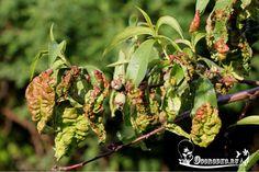 Персик - курчавость листьев, борьба, способы и методы лечения курчавости, народные способы, когда можно обрабатывать персик против курчавости и как правильно…