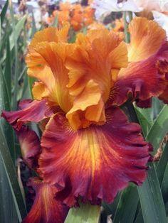 Tall Bearded Iris `Different Flavors´ - iris4u.com