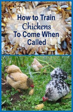 How to Train Chickens to Come When Called - wonder if it works on kids