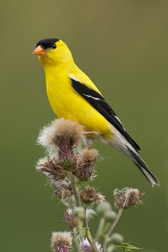 American Goldfinch one of mine and Normas favorites