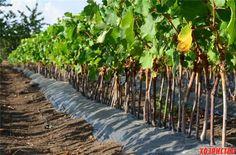 Посадка саженцев винограда на насыпной грунт
