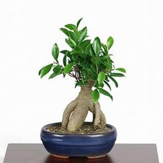Care for Ficus ginseng bonsai