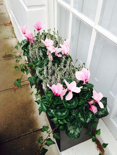 Autumn and winter window box... Hebe and cyclamen | Garden ...