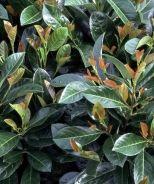 Etna English Laurel (Prunus laurocerasus 'Anbri') - Monrovia - Etna English Laurel (Prunus laurocerasus 'Anbri')