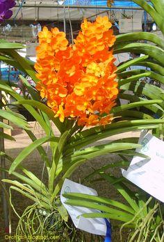 Vanda Prchids   ... Vanda Cattleya Cymbidium Phalaenopsis Dendrobium: Vanda Hybrid Orchids