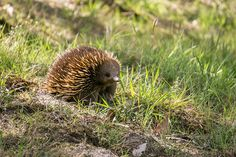 Echidnas | 15 Delightful Animals That Actually Exist