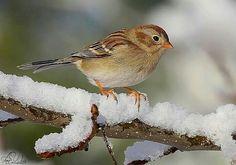 Sparrow in snow