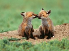 Two fox. Foxes. Foxi.
