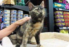 Gabbie, a kitten for adoption.