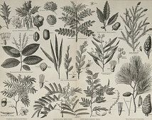 1890 Antique fine print of TREES: LEAVES and FRUITS, different species. Botany. 124 years old anatomical print.