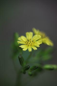 Lapsana apogonoides(コオニタビラコ)  花言葉 仲間と一緒に