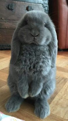 Adorable little grey house bunny.