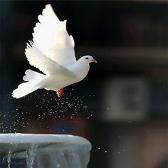 Peace Dove Refreshing Sprinkles