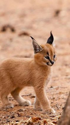 """The caracal is a medium sized cat which it spread in West Asia, South Asia, and Africa. The word Caracal is from Turkey """"Karakulak"""" which means """"Black Ears"""". Here is all about caracal as a pet. Baby Caracal, Caracal Kittens, Cats And Kittens, Baby Bobcat, Lynx Kitten, Big Cats, Lynx Lynx, Funny Kittens, White Kittens"""