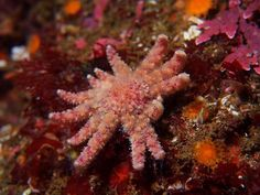 My December diving article published in the Mountain Network News:  If you have visited any tide pools in the Monterey Bay in the last three years, you may have noticed something disturbing. Some of the starfish have missing or deformed arms. The cause of these deformities is due to the sea-star wasting syndrome, which is caused by a virus which broke out in 2013. The virus has killed and deformed 22 species of sea stars from Mexico to Alaska over the last three years. Similar die-offs…