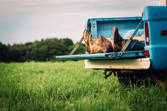 Engagement session with old blue Bronco truck parked in a field