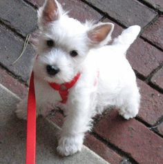 Pluto the West Highland Terrier - our little neighbor made it! @The Daily Puppy