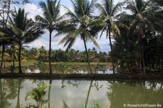 Blick auf Reisfeld bei der Zugfahrt von #Bandung nach #Yogyakarta