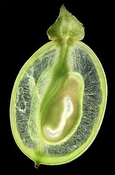 cross section of a green grape - ohscience:  From Sophie Munns 2010