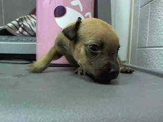 MONTY (A1637164) I am a male tricolor Terrier.  The shelter staff think I am about 5 weeks old and I weigh 1 pounds.  I was found as a stray and I may be available for adoption on 08/20/2014. — hier: Miami Dade County Animal Services. https://www.facebook.com/urgentdogsofmiami/photos/pb.191859757515102.-2207520000.1408745829./826673207367084/?type=3&theater