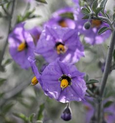 """Solanum umbelliferum """"Blue Witch"""" -Bewitching, 1"""" pollinator attracting purple blooms with showy yellow anthers completely cover this cutie California native almost year round with the biggest bloomfest happening Spring through Summer."""