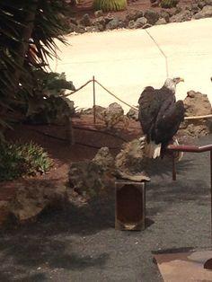 Rancho Texas Lanzarote American bald Eagle