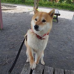 Pinを追加しました!/ねぇ、ここにおやつを置いてくれるかな? #おやつタイム #shiba #dog #komugi #柴犬 #日本犬 #赤柴 #shibainu #しばわんこ #柴犬大好き #わんこ #狗 #doge #shibe #shibastagram