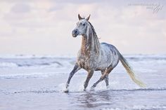 A varnish appaloosa horse runs on the beach