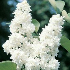 lilas commun, syringa vulgaris   lilas, arbuste et plantes