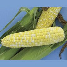 Xtra Tender 270a Hybrid Sweet Corn -(sh2) Ears 8 inches long and 2 inches in diameter are well-filled with refined white and yellow kernels. An 'Xtra-Tender' hybrid sweet corn. Bicolor.