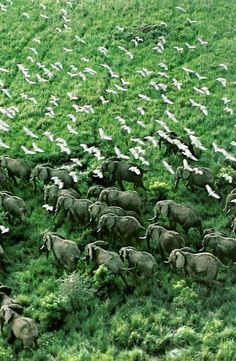 Elephants at Murchison Falls National Park, Uganda National Geographic   May 1985