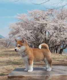 a beautiful akita inu during a Japanese spring. Animals And Pets, Funny Animals, Cute Animals, Underwater Creatures, Dolly Parton, Dog Breeds, Cute Dogs, Funny Dogs, Dogs And Puppies