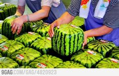 Meanwhile in japan: Square watermelon grown in boxes