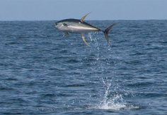 The action is hot when yellowfin tuna take flight off Venice, Louisiana. Sport Fishing, Fly Fishing, Yellowfin Tuna, Lure Making, Offshore Fishing, Deep Sea Fishing, Sea Creatures, Shark, Animals