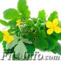 Желтые цветки чистотела