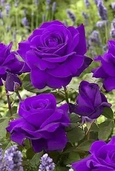 hybrid tea roses for a north facing wall Beautiful Rose Flowers, Beautiful Flowers Wallpapers, Exotic Flowers, Amazing Flowers, Pretty Flowers, Beautiful Gardens, Purple Flowers Wallpaper, Purple Roses, Flower Wallpaper