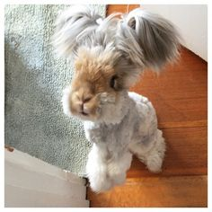 This English Angora is so adorable it's almost unreal.