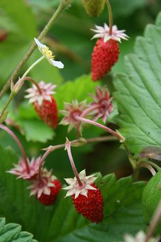 Wild strawberries, leave a few for the faeries and little creatures... Carol