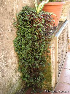 kriechendes sch npolster pflanze wohnen pflanzen garten und balkon pflanzen. Black Bedroom Furniture Sets. Home Design Ideas