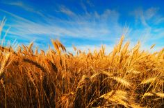 The golden wheat fields of a the prairies. Wilfrid Laurier, Amazing Nature Photos, O Canada, Autumn Painting, Grand Tour, Historical Sites, Beach Trip, Beautiful World, Egypt