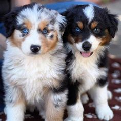 30 Outstanding Names For Australian Shepherd Dogs Do you have a fast paced life or love the great outdoors? Do you need a high energy dog that thrives on staying active? The Australian Shepherd may be the perfect dog for you! Australian Shepherd Puppies, Aussie Puppies, Cute Dogs And Puppies, Adorable Puppies, Doggies, Puppies Tips, Aussie Shepherd Puppy, Blue Merle Australian Shepherd, Puppies With Blue Eyes