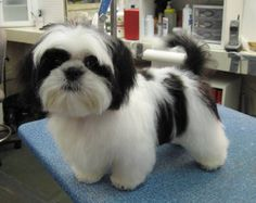Google Image Result for http://www.caninedesignct.com/Buddy-black_and_white_ShihTzu_puppy-Standard_e-mail_view.jpg