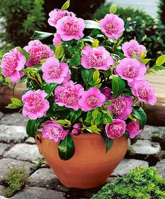Camellia japonica 'Italiana' - Camellia 'Italiana' is one of the most beautiful and most elegant tub plants. Camellias are sometimes known as Japanese Rose. It flowers richly, producing large eye-catching flowers, and it keeps its leaves in winter. This camellia will be greatly admired.